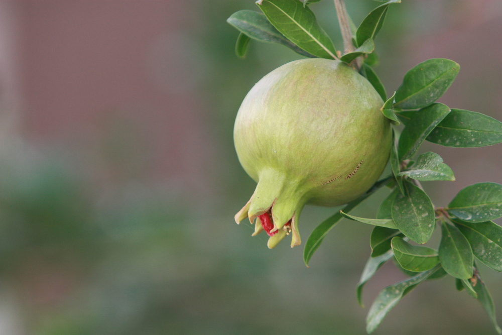 The pomegranate is symbol for fertility. We took this picture in Spain.